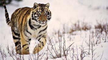 Фото бесплатно тигр, зима, снег
