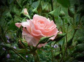 Фото бесплатно троянда, розова, квітка