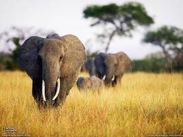 Бесплатные фото слоны,африка,семья,поле,деревья,животные