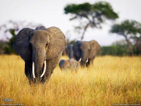 Photo free elephants, africa, family
