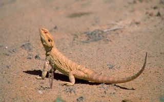 Photo free lizard, proud, humor