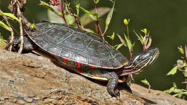Бесплатные фото черепаха,голова,панцирь,лапы,трава,цветы,животные