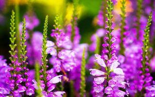 Бесплатные фото цветы,колокольчики,лепестки,сиреневые,стебли,зеленые