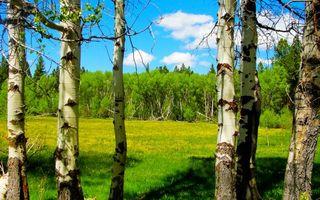 Фото бесплатно деревья, березы, поляна, трава, небо, облака, природа
