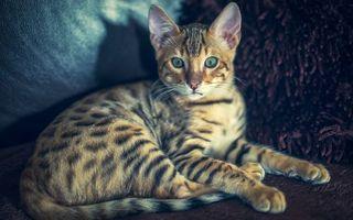 Фото бесплатно кошка, бенгальская, окрас