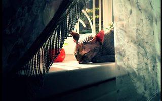Бесплатные фото кошка,сфинкс,лысая,окно,подоконник,шторы,кошки