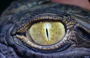 Фото бесплатно око, крокодил, зелений