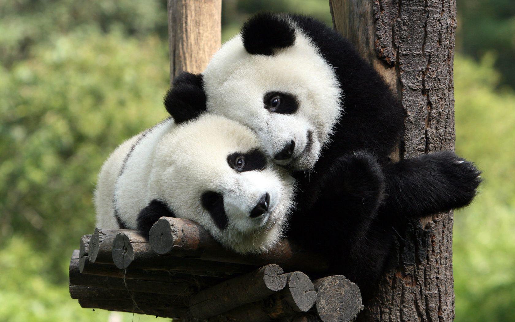 https://img.fonwall.ru/o/68/pandyi-bambukovyie-medvedi-mordyi.jpg