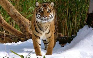 Фото бесплатно тигр, полосатый, глаза