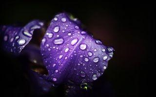 Обои цветок, лепестки, сиреневые, капли, вода, роса, макро