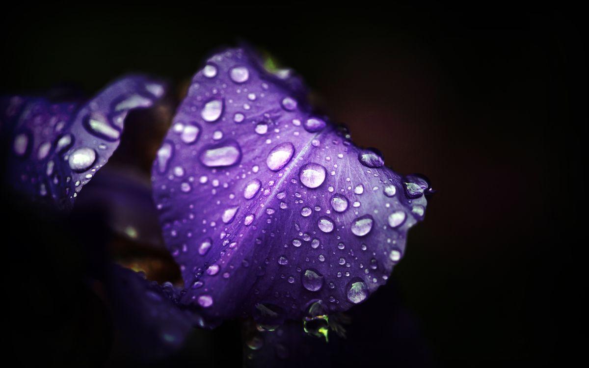 Обои цветок, лепестки, сиреневые, капли, вода, роса, макро картинки на телефон