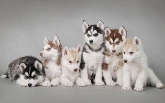 Бесплатные фото собаки,щенки,породистые,хаски