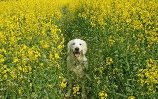 Фото бесплатно рапс, лето, собака, поле