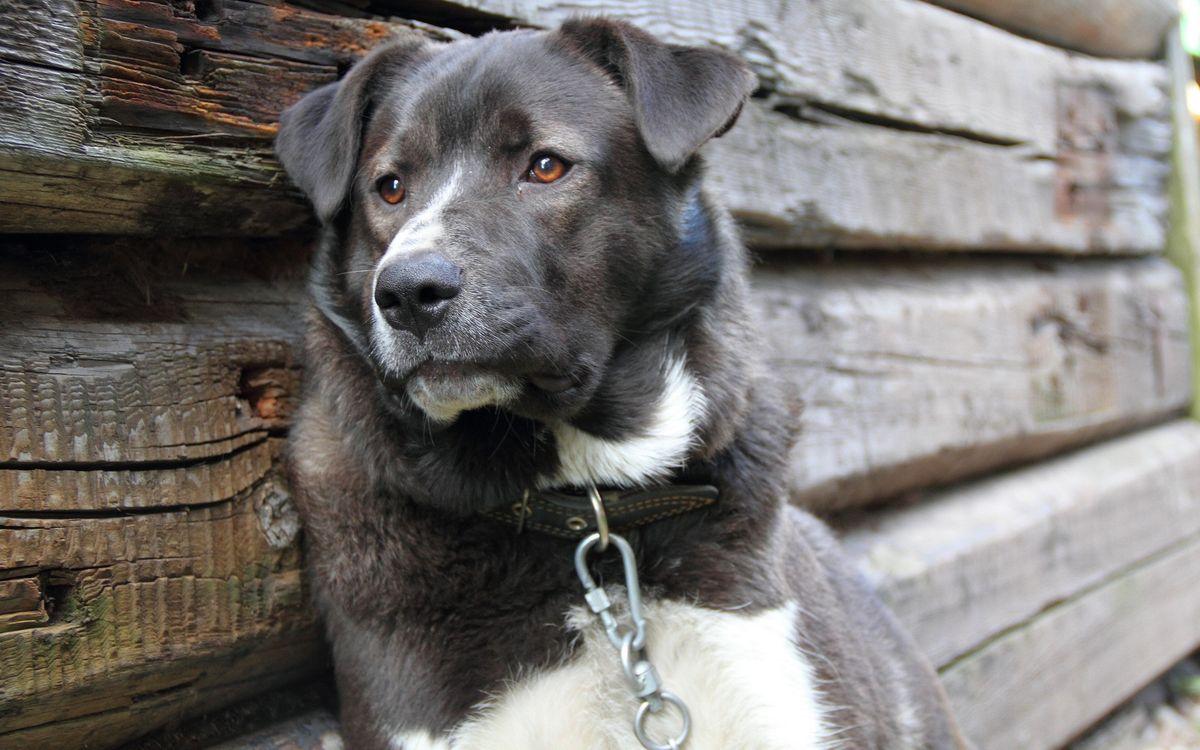 Фото бесплатно собака, ошейник, цепь, на привязи, брус, собаки, собаки