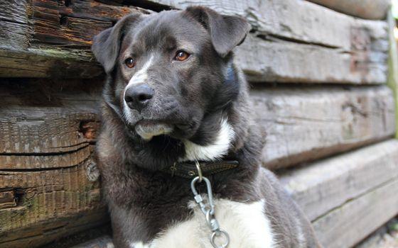 Photo free dog, collar, chain
