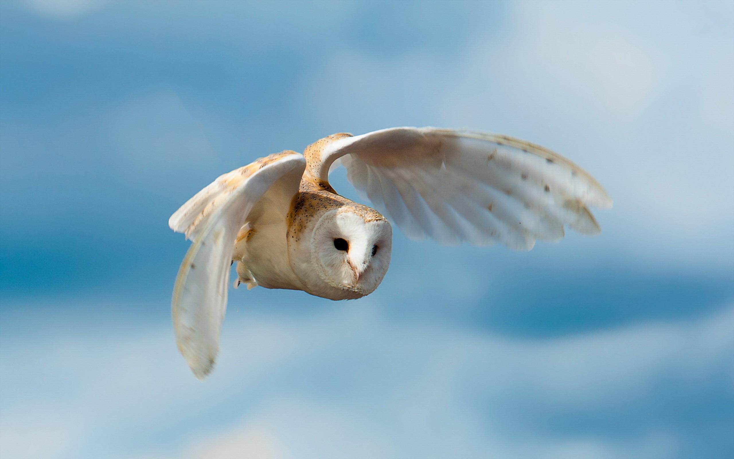 Обои белая, сова, полет, крылья