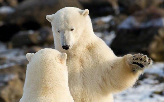Фото бесплатно белые медведи, схватка, Арктика