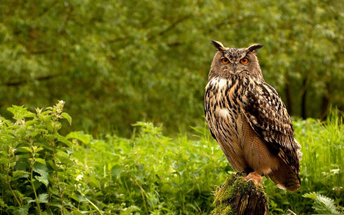 Free photo plumage, beak, owl - to desktop