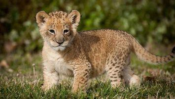Заставки гепард, котенок, морда