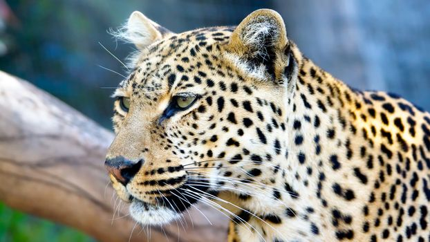 Фото бесплатно леопард, шерсть, трава, дерево, окрас, пятнышки, уши, глаза, взгляд, ветки, листья, лето