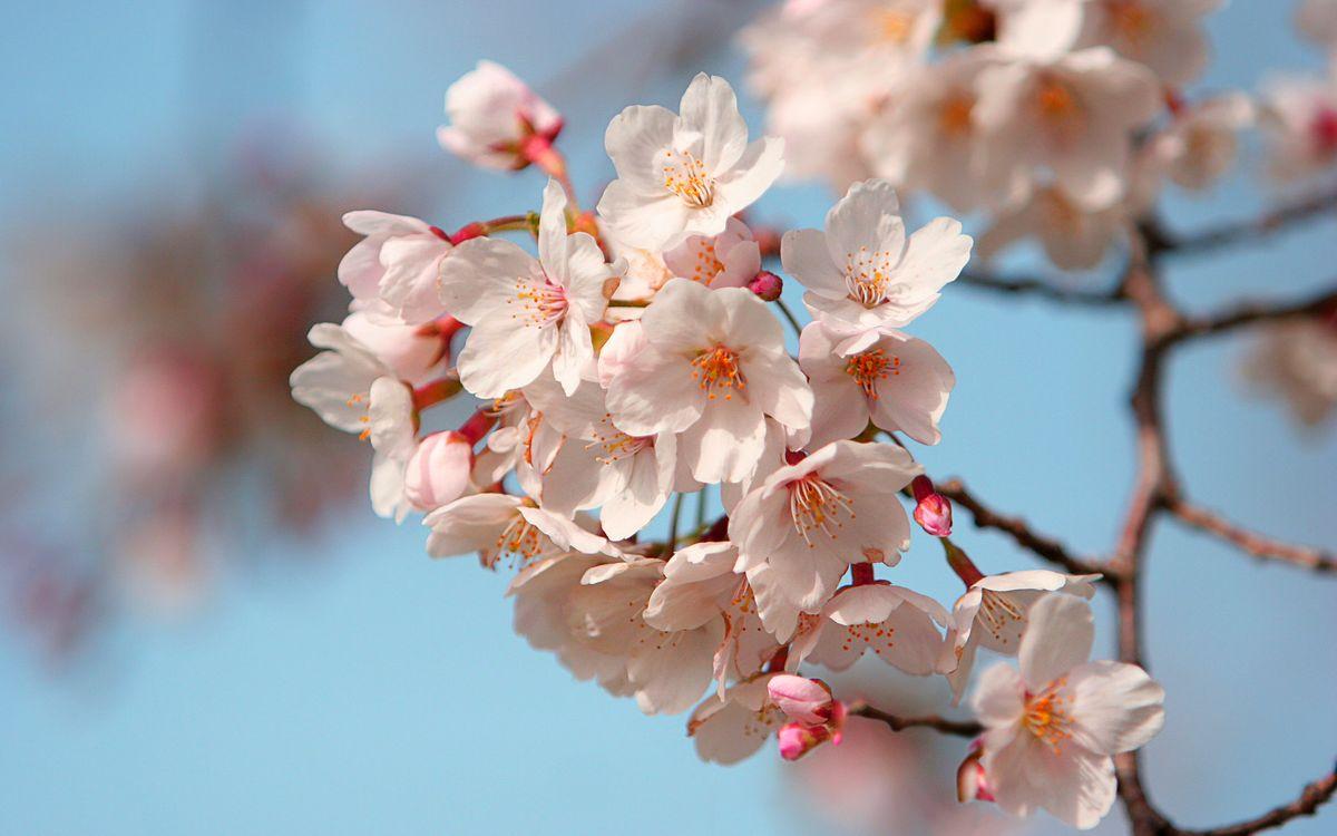 Обои листья, лепестки, цветки, маленькие, бутоны, ветка, дерево, небо, голубое, цветы на телефон | картинки цветы