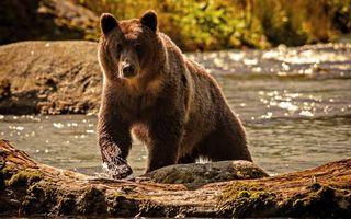 Бесплатные фото медведь,морда,лапы,шерсть,река,бревно,животные