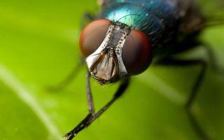 Фото бесплатно муха, глаза, крылья, лапы, лист, голова, насекомые