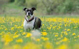 Бесплатные фото пес,морда,уши,ошейник,гуляет,трава,собаки