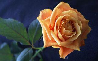 Бесплатные фото роза,стебель,листья,шипы,цветок,оранжевый,цвет