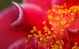 Бесплатные фото цветок, красный, лепестки, тычинки, желтые, пыльца, макро