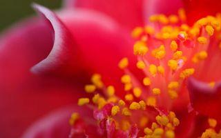 Фото бесплатно пыльца, тычинки, красные