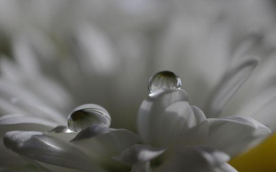 цветок, лепестки, белые, капли, роса
