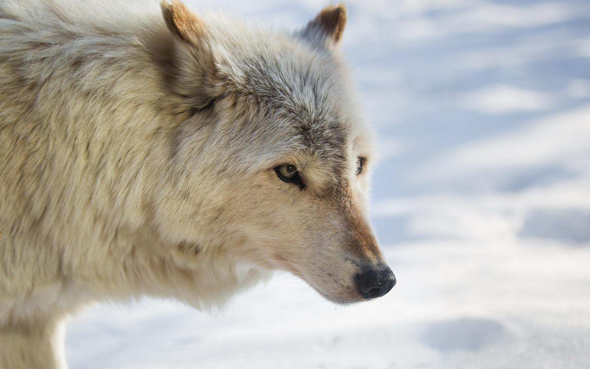 волк, белый, снег