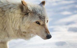 Заставки волк, белый, снег, морда, глаза, шерсть, животные