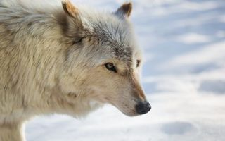 Photo free wolf, white, snow