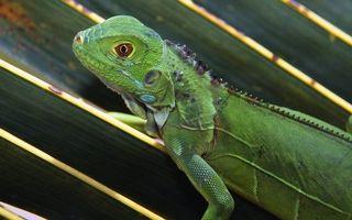 Заставки ящерица, глаза, нос, кожа, лапы, когти, лист, тело, зеленый, зверек, вены, животные