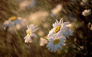 Photo free daisies, drops, rain