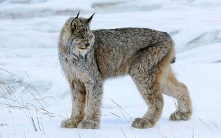 Бесплатные фото рысь,морда,уши кисточки,лапы,шерсть,снег