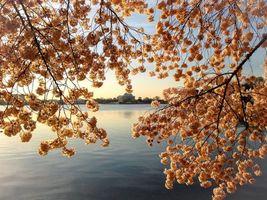 Обои закат, озеро, ветки деревьев, цветы, цветение, пейзаж