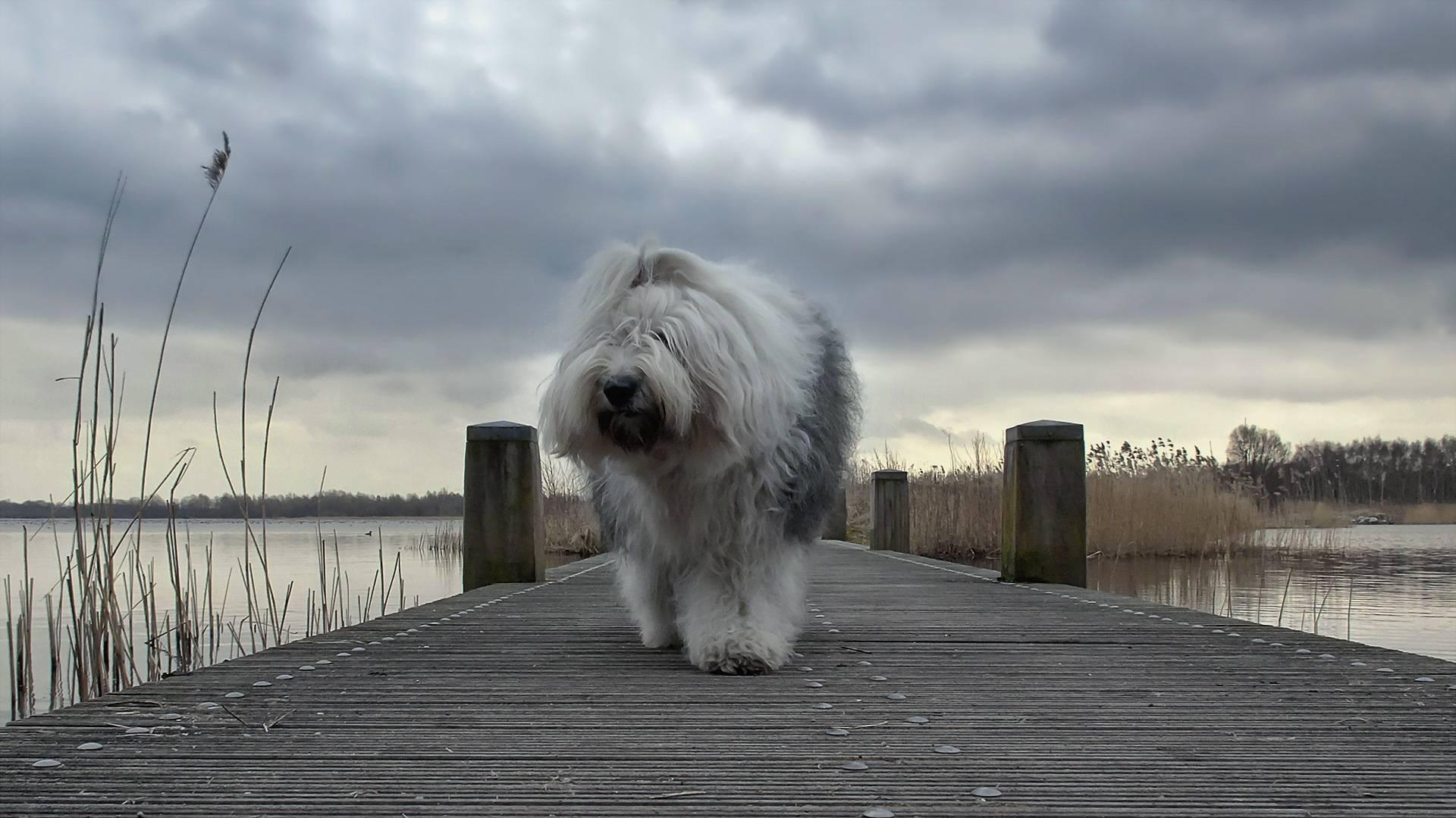 Обои пес, пушистый, морда, лапы