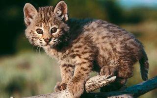 Бесплатные фото котенок,рысь,морда,лапы,хвост,шерсть,коряга