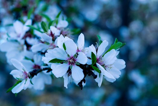 Photo free sakura, spring, Cherry Blossoms