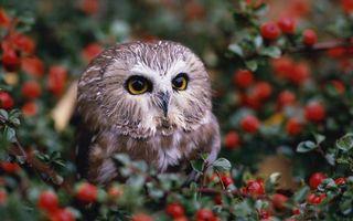 Бесплатные фото сова,клюв,перья,ветки,листья,ягода