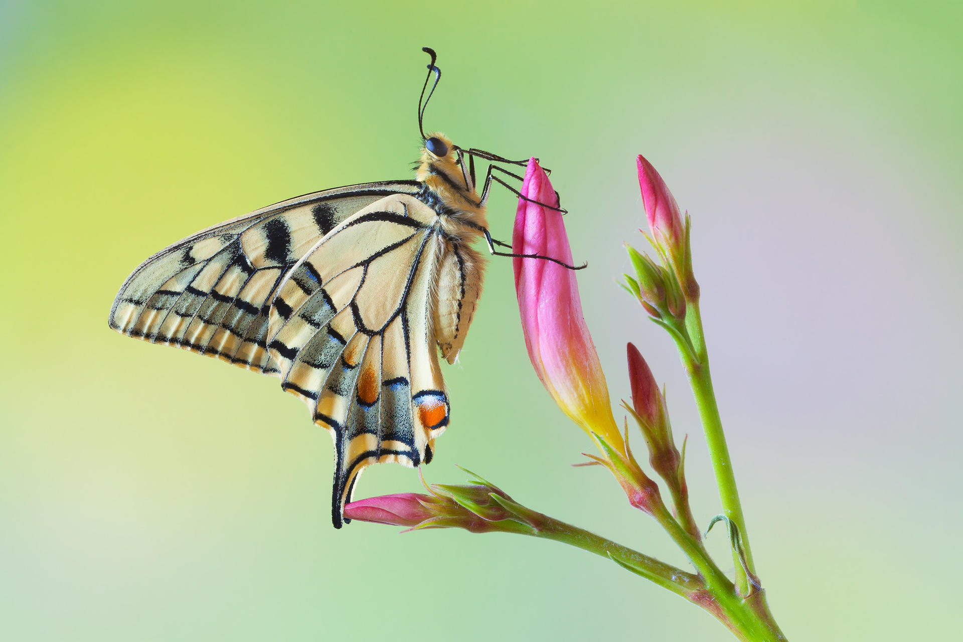 Обои Махаон, Papilio machaon, бабочка, цветок