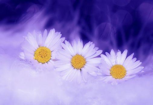 Цветы обои красивые, ромашки на телефон