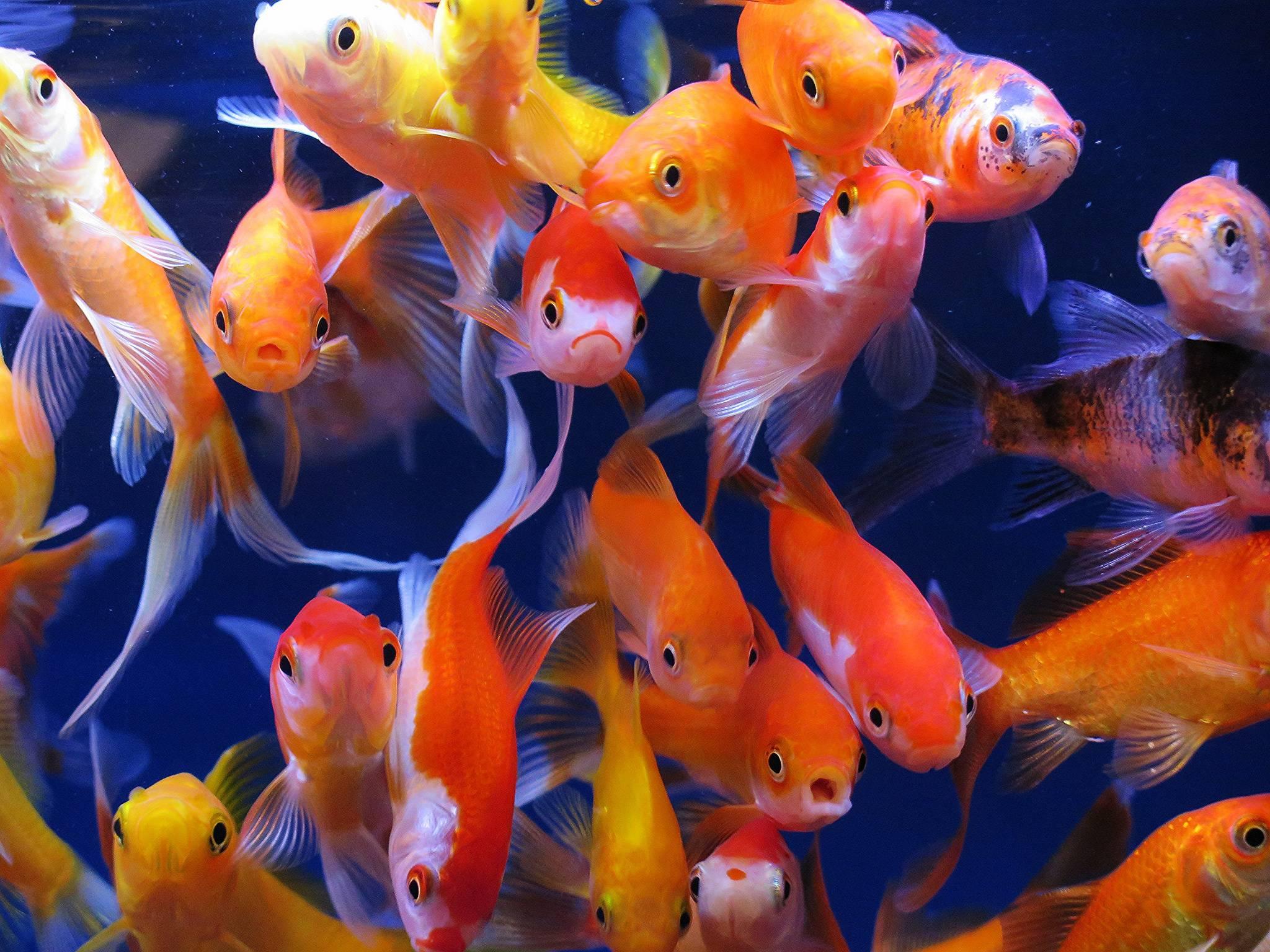 обои аквариумные рыбки, аквариум, золотые рыбки картинки фото