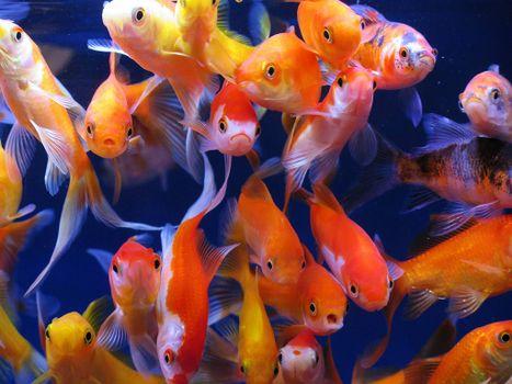 Заставки аквариумные рыбки, аквариум, золотые рыбки
