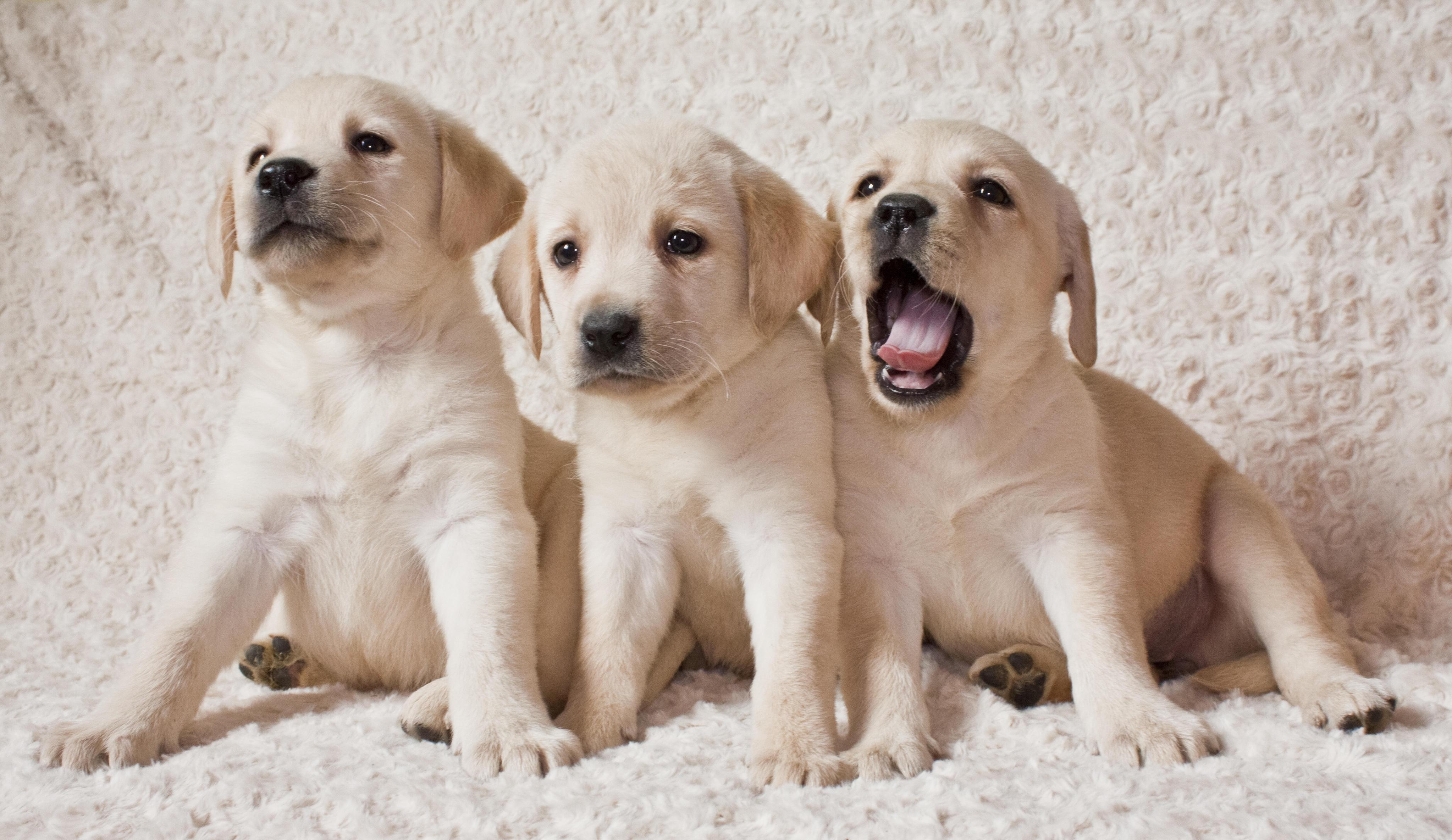 Обои Labrador puppies, Лабрадор, Щенки лабрадора, щенки