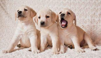 Заставки Labrador puppies, Лабрадор, Щенки лабрадора