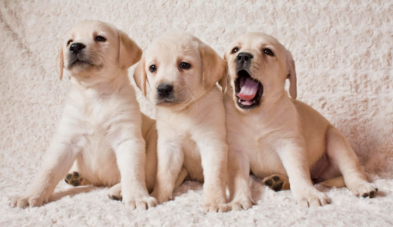 Фото бесплатно Labrador puppies, Лабрадор, Щенки лабрадора, щенки, собаки, собака, собаки